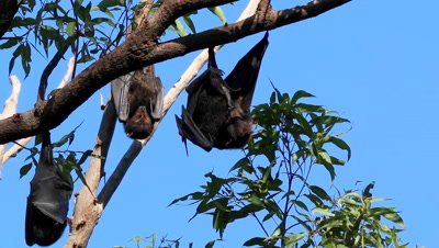 Black Flying Fox hanging moves along branches