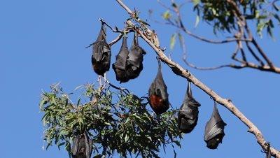 Black Flying Fox hanging group