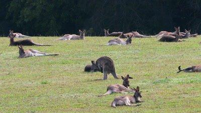 Eastern Grey Kangaroo at a cemetery
