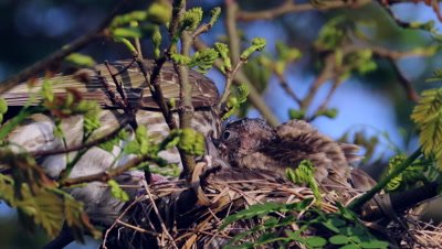 Australasian Figbird female activities on nest