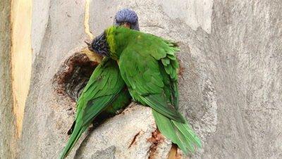 Rainbow Lorikeet nest activity