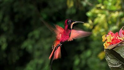 Crimson Topaz Hummingbird on Flowes,hovering