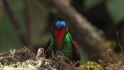 Rainbow Starfrontlet Hummingbird forehead CLOSE UP