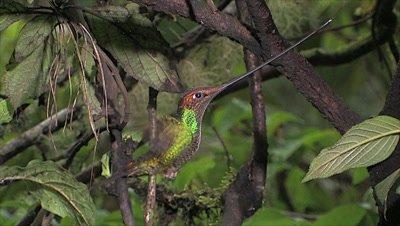 Sword-billed Hummingbird hover