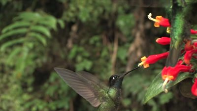 Magnificent Hummingbird group fighting