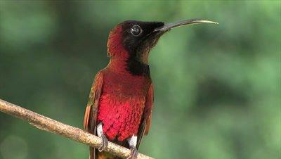 Crimson Topaz Humingbird display gorge close