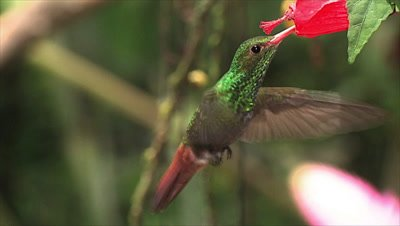 Rufous tailed Hummingbird Hummingbird on cayenne