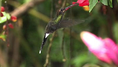 White-whiskered Hermit Hummingbird on flower