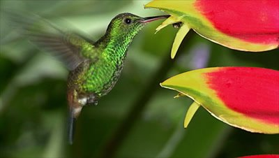 Copper-rumped Hummingbird on heliconia