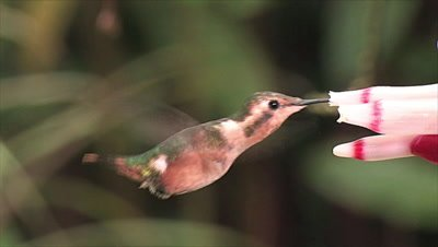 Little Woodstar Hummingbird on tubular flower
