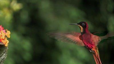 Crimson Topaz Hummingbird hover flower