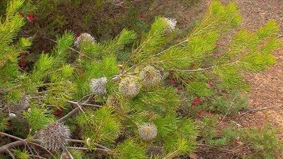 Banksia telmatiaea zoom in