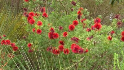 Bottlebrush zoom in