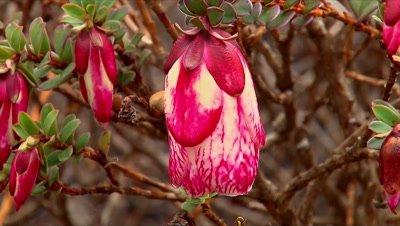 Darwinia macrostegia (Monduruk Bell) close