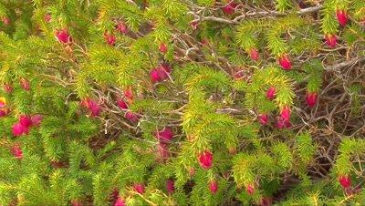 Darwinia oxylepsis zoom