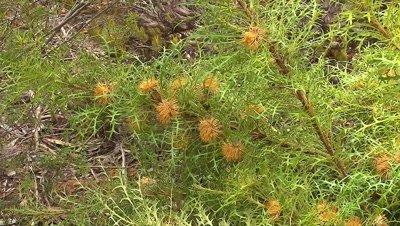 Driandra sirsioides zoom