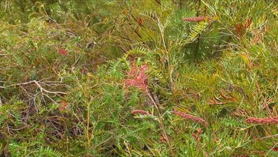 Grevillea  (Carpet Queen) zoom