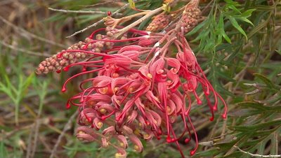 Grevillea (Robyn Gordon) close
