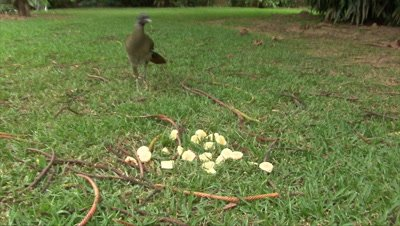 Chachalaca attracted with banans