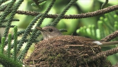 Pale-breasted Thrush on nest close up