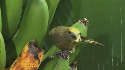 Palm Tanager on banana