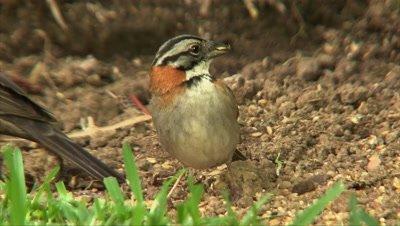 Ochre-breasted Brush-Finch feeding on the ground
