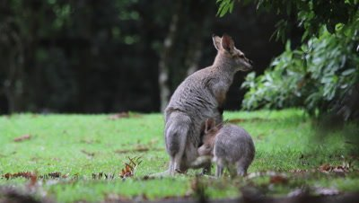 Red-necked Wallaby suckling then enters pouch