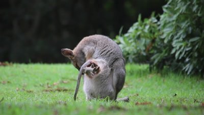 Red-necked Wallaby comes out of the pouch