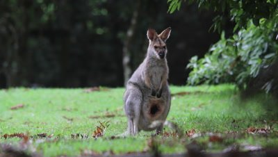 Red-necked Wallaby joy arrives to mother to suckle