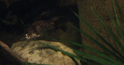 Platypus searching for food underwater