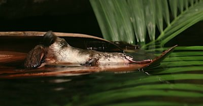 Platypus scratching, late afternoon, close