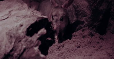 Greater Bilby searching for food at night
