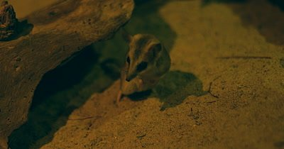 Fat-tailed Dunnart searching for food at night