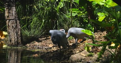 Brolga couple preening