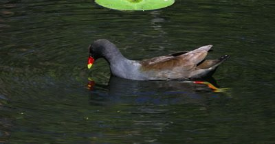 Dusky Moorhen comes feeds on pond