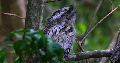 Tawny Frogmouth perched female close up
