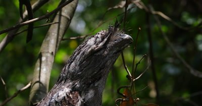 Tawny Frogmouth male close up