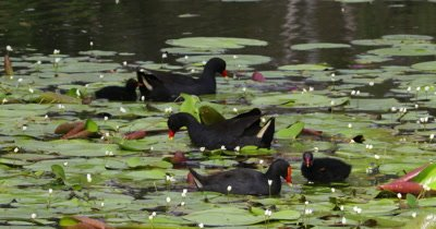 Dusky Moorhen feeding chicks in pond
