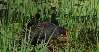 Dusky Moorhen on nest with chicks goes to feed chicks in pond