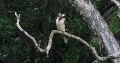 Kookaburra perched
