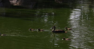 Pacific Black Duck with  chicks in pond