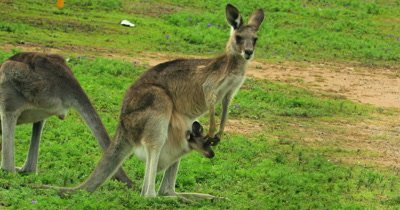 Eastern Grey Kangaroo on the alert, joy in pouch