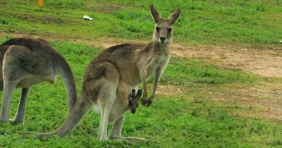Eastern Grey Kangaroo grazing mother and joy