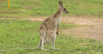 Eastern Grey Kangaroo on the alert, joy in pouch, flee