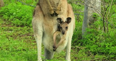Eastern Grey Kangaroo, Joy in mother's pouch