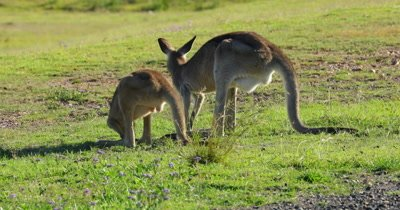 Eastern Grey Kangaroo grazing, Mother and Juvenile, back lighted