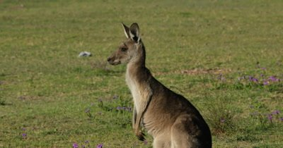 Eastern Grey Kangaroo On the alert
