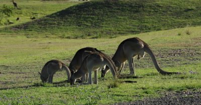 Eastern Grey Kangaroo grazing, four of them, bird jumping around (Willie Wagtail)