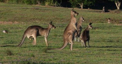 Eastern Grey Kangaroo grazing, two grazing. two standing on alert