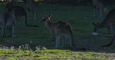 Eastern Grey Kangaroo grazing in the shadows backligthed